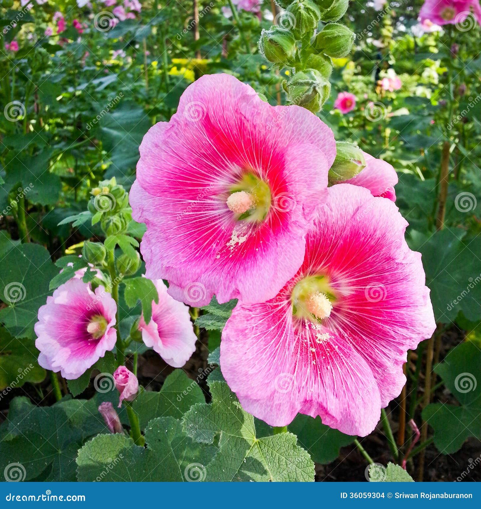 Rosea l de rose tr mi re ou d 39 alcea photo stock image for Alcea rosea