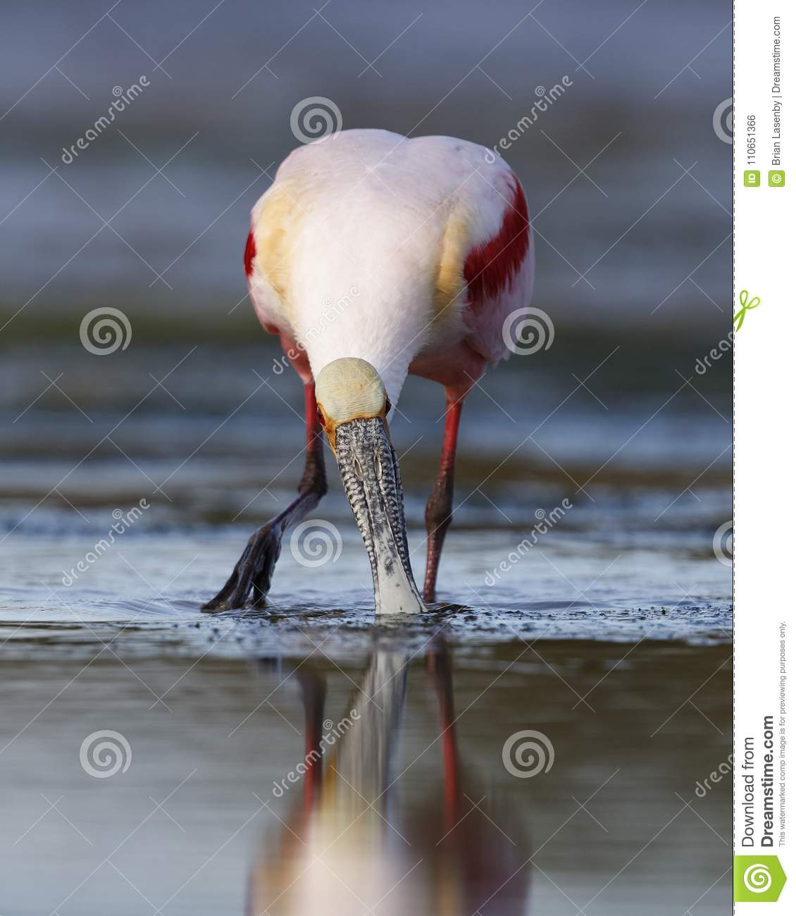 Roseate Spoonbill feeding in a shallow lagoon - Pinellas County, Florida