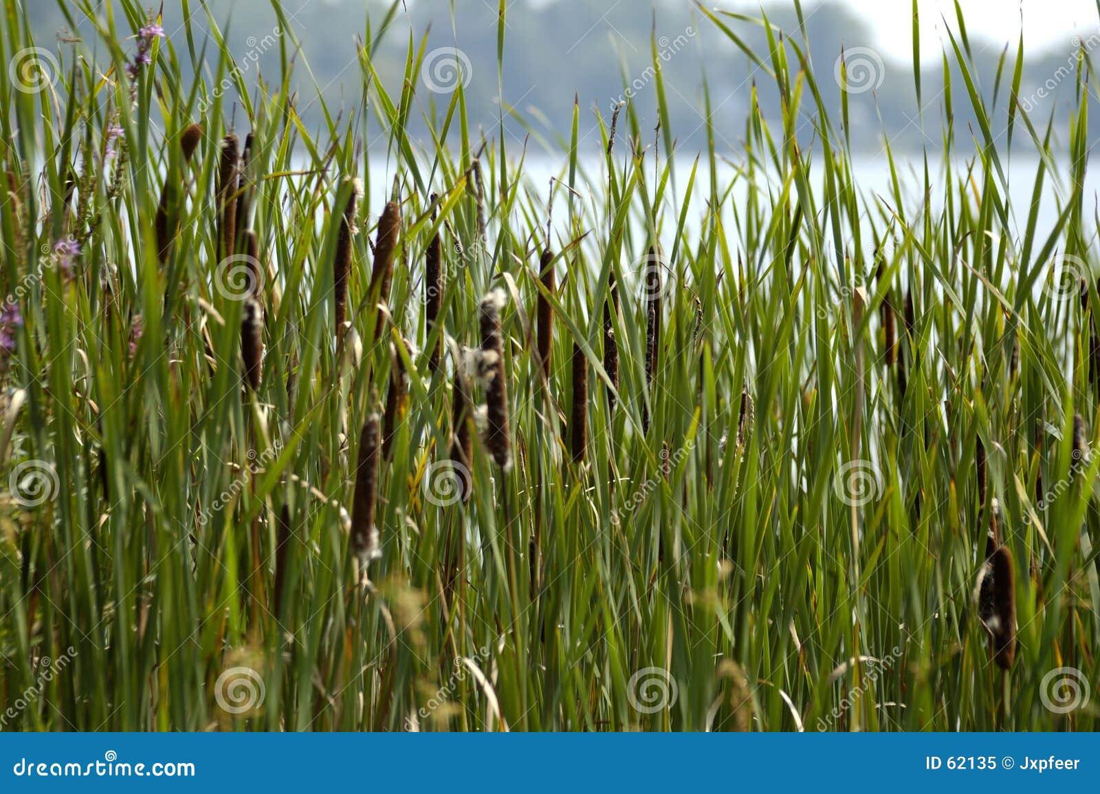 Download Roseaux image stock. Image du centrales, roseau, nature - 62135