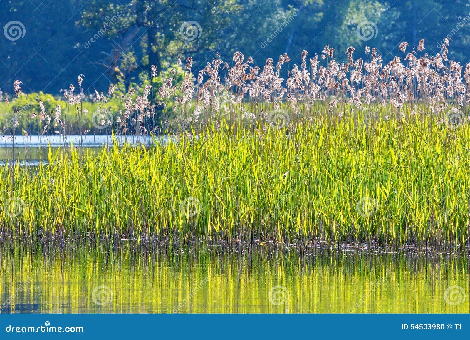 Roseaux dans le bord de l eau
