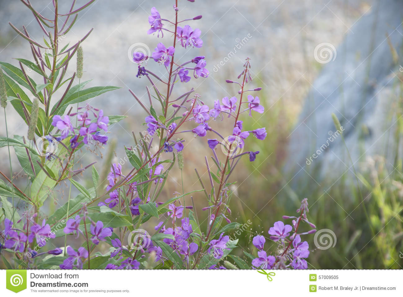 Download Rosebay Willow-herb Fireweed (Chamerion Angustifolium) Stock Image - Image of lake, herb: 57009505