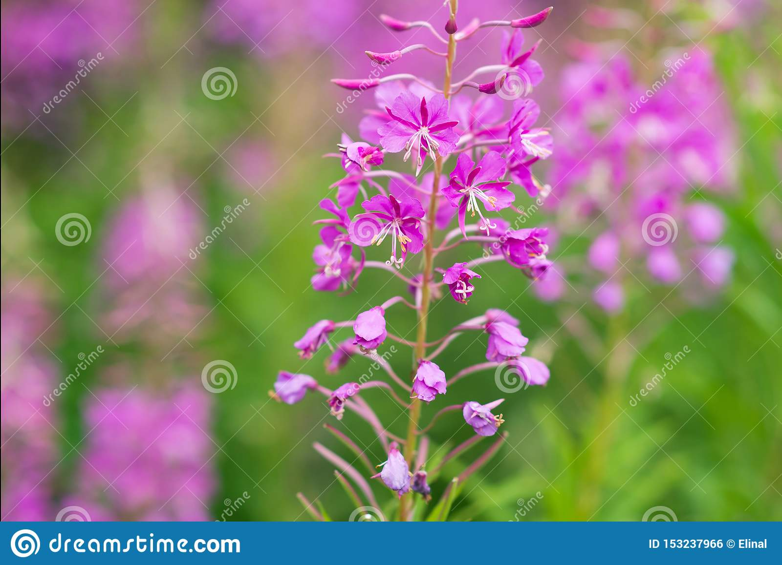 Rosebay willowherb or fireweed closeup, violet, purple flower background. Nature