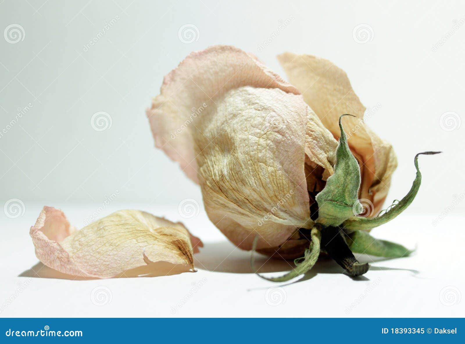 Rosebud завял