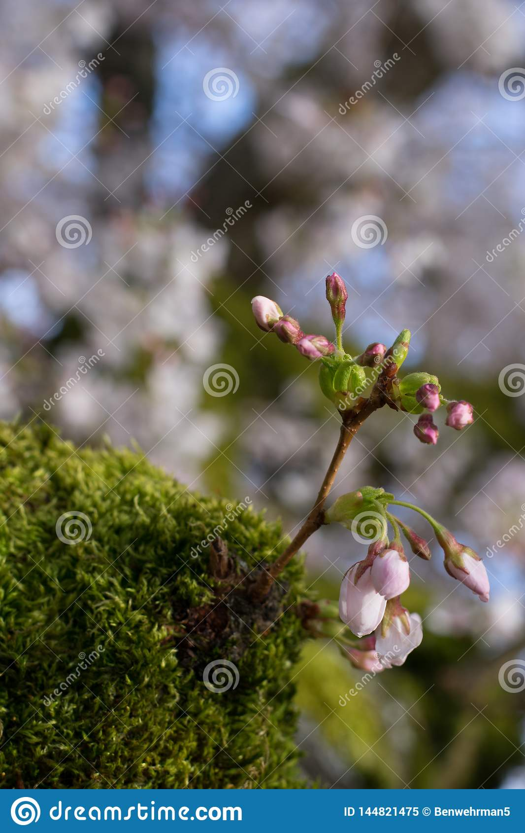 Rosebuds on a Mossy Tree
