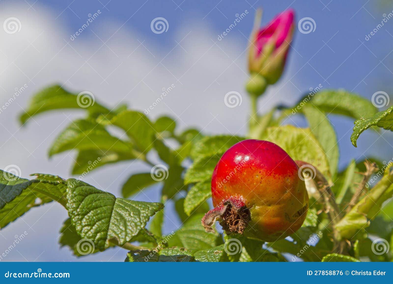 Rosehip krzak