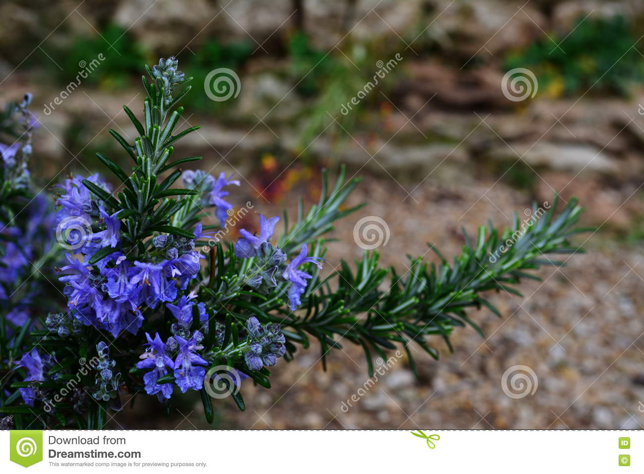 Rosemary With Blue Flowers Stock Photo Image Of Garden 73984186