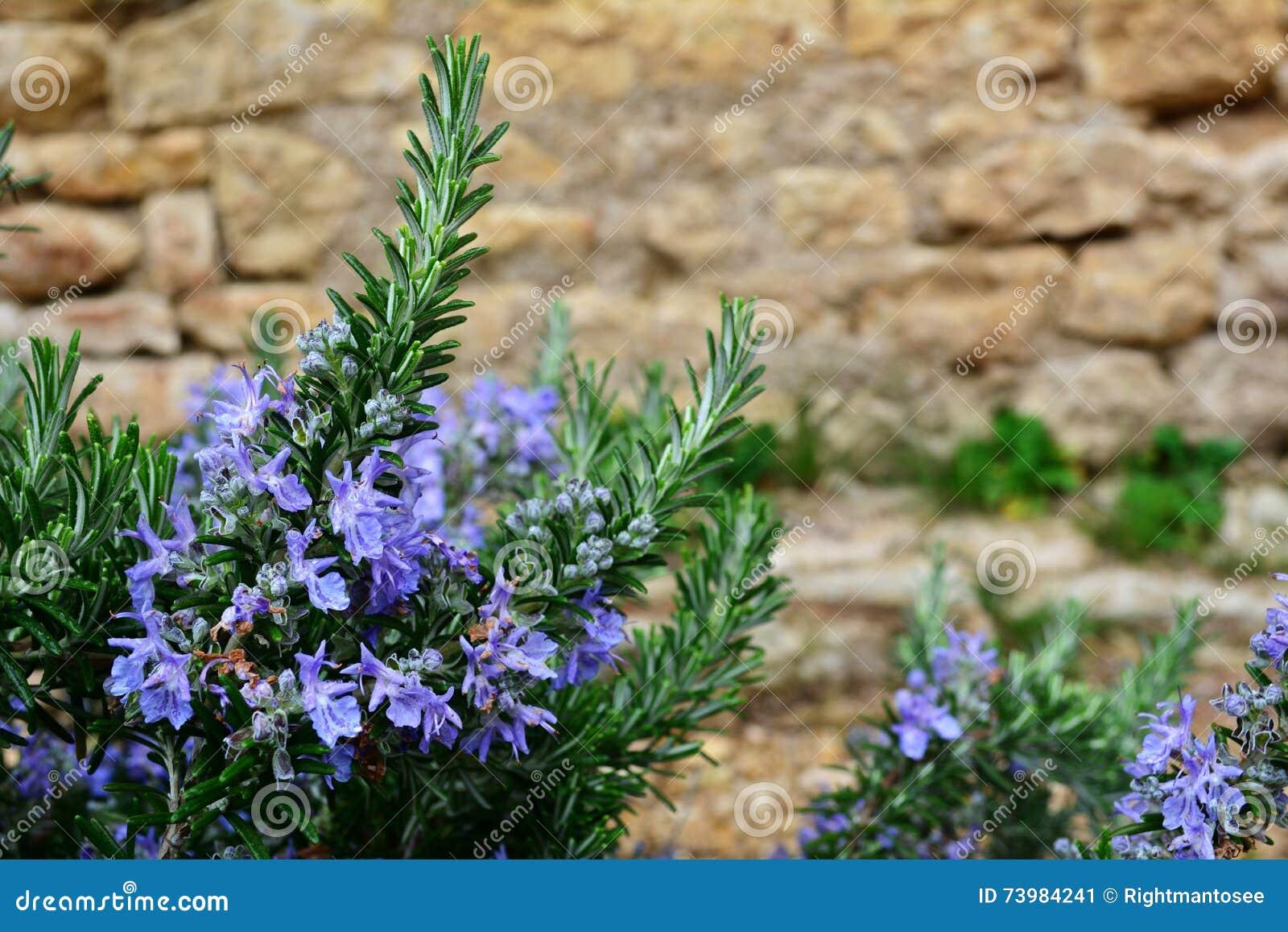 Rosemary With Blue Flowers Stock Image Image Of Freshness 73984241