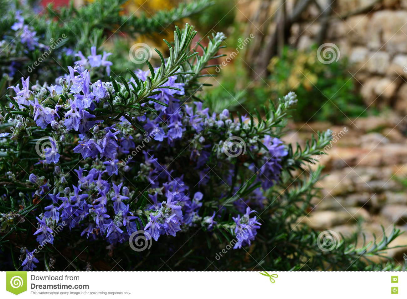 Rosemary With Blue Flowers Stock Photo Image Of Cultivation 73984350