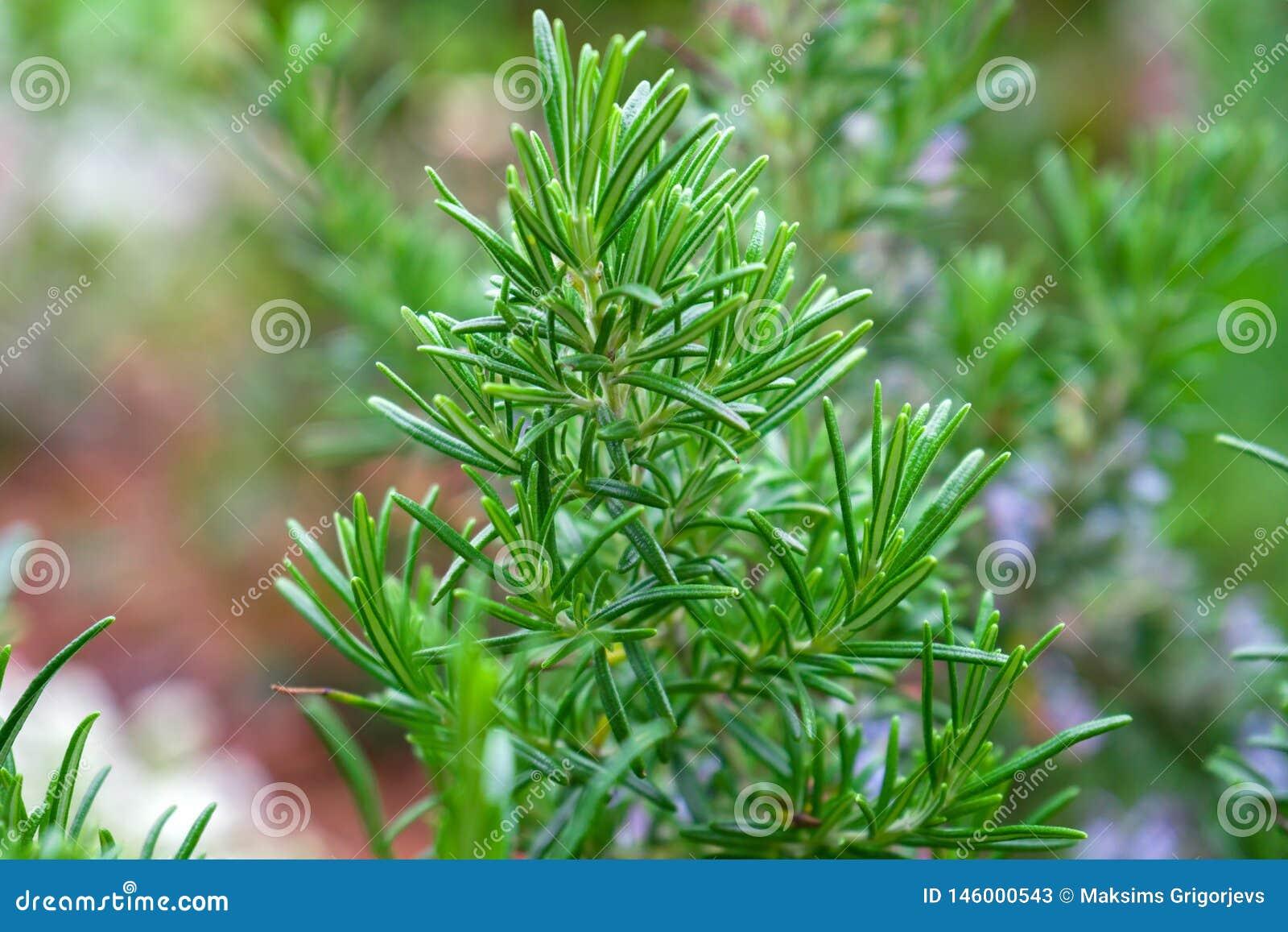 Rosemary Herb fresca arbusto que crece en jardín