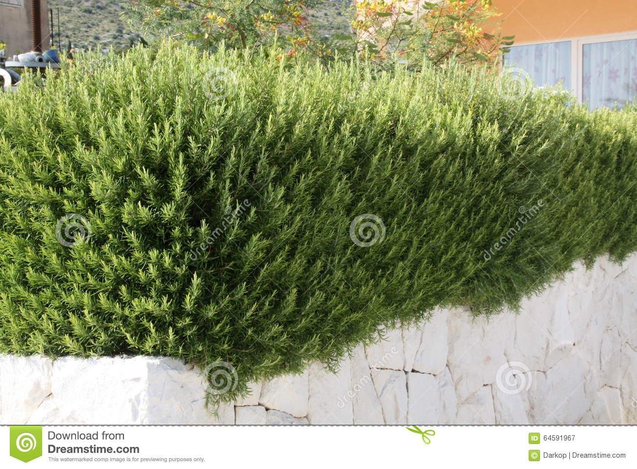Rosemary In A Mediterranean Garden Stock Image - Image: 64591967