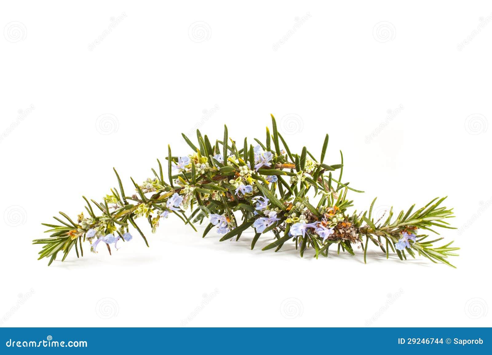 Download Rosemary (officinalis Do Rosmarinus) Foto de Stock - Imagem de verde, folhas: 29246744