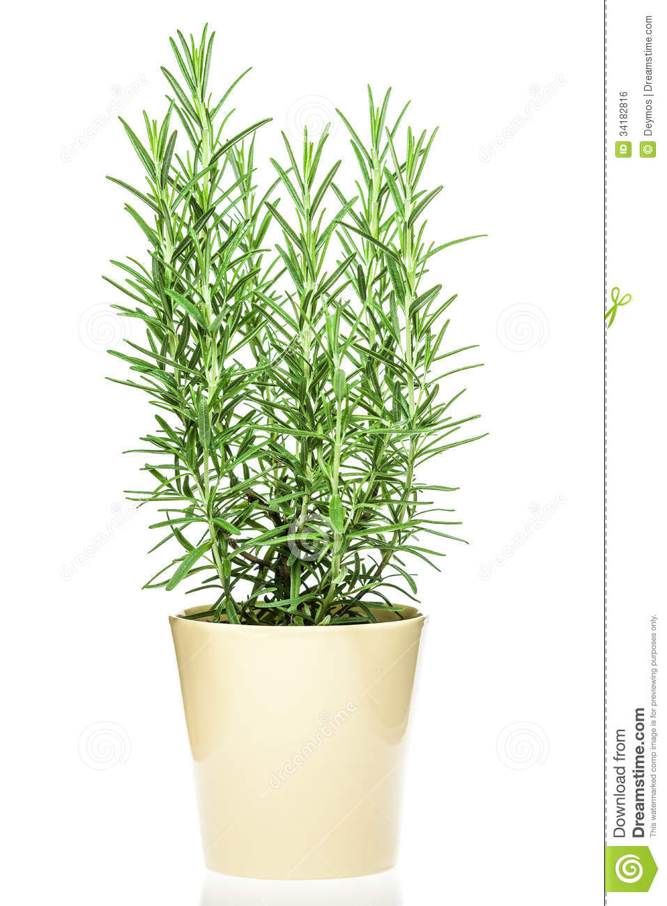 rosemary plant in a light yellow pot royalty free stock image