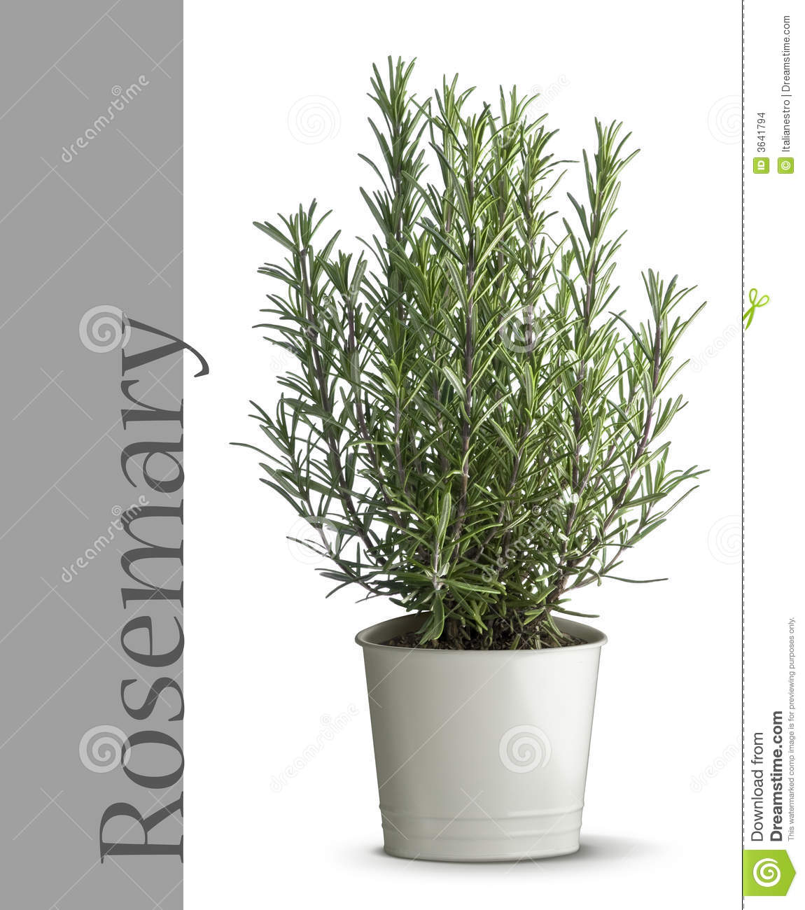 Rosemary Plant In Vase Stock Images  Image 3641794