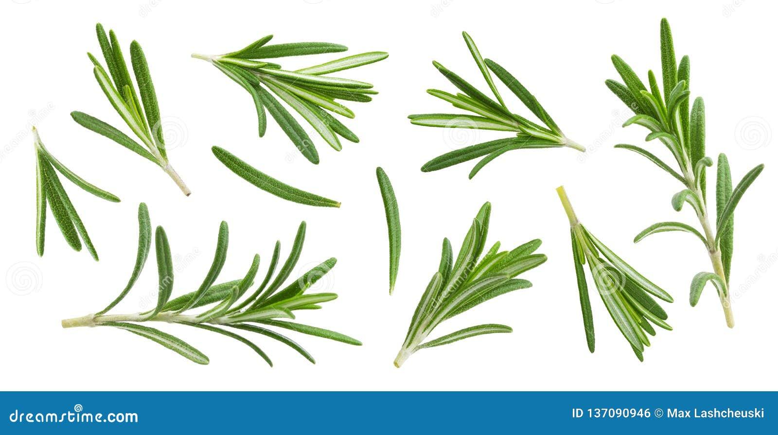 Rosemary takje en bladeren op witte achtergrond met het knippen van weg, inzameling wordt geïsoleerd die