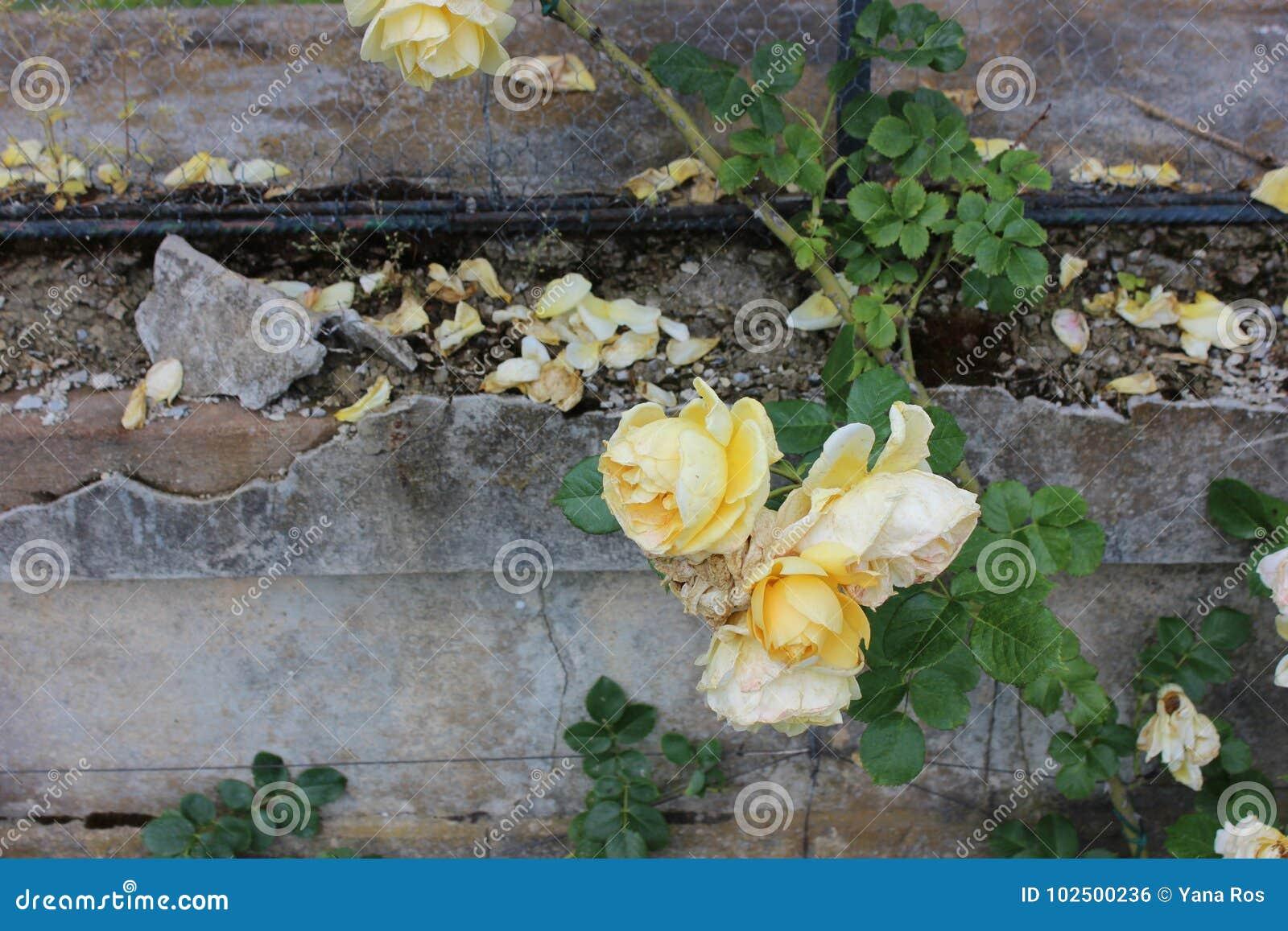 Rosen auf dem Stein