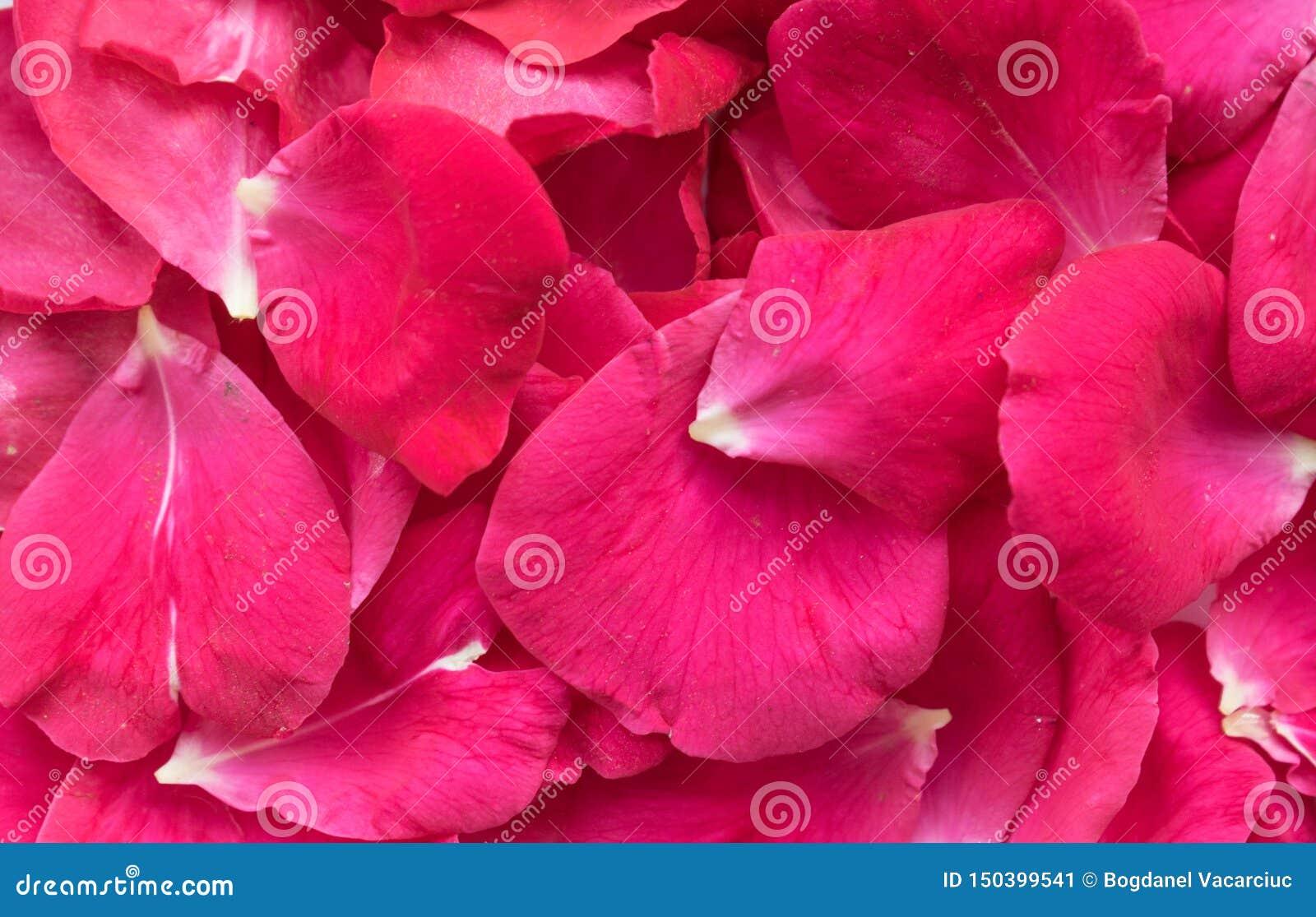 Rosen-Blumenblätter eine schöne natürliche Dekoration
