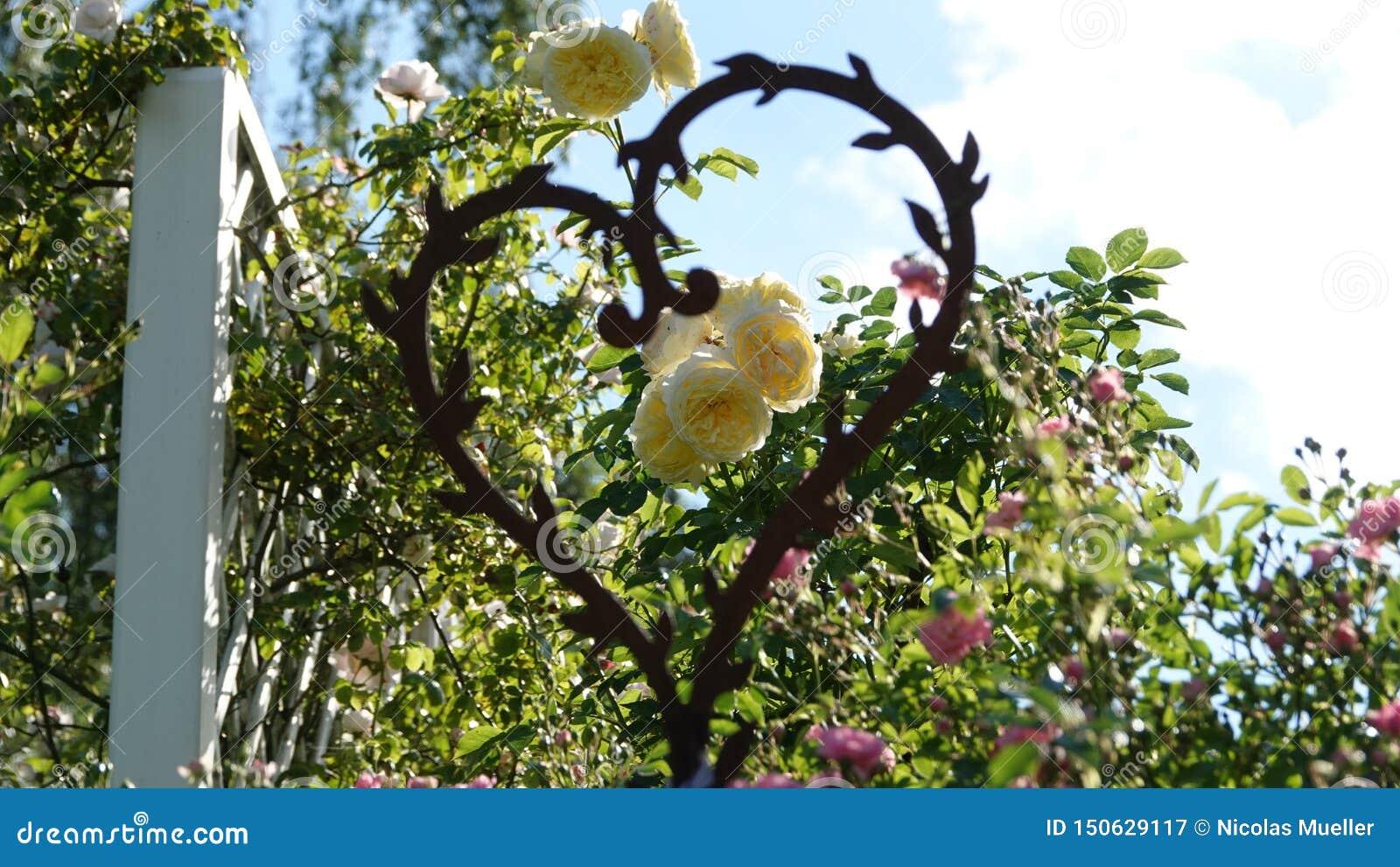 Rosen, die durch ein Herz fokussiert werden