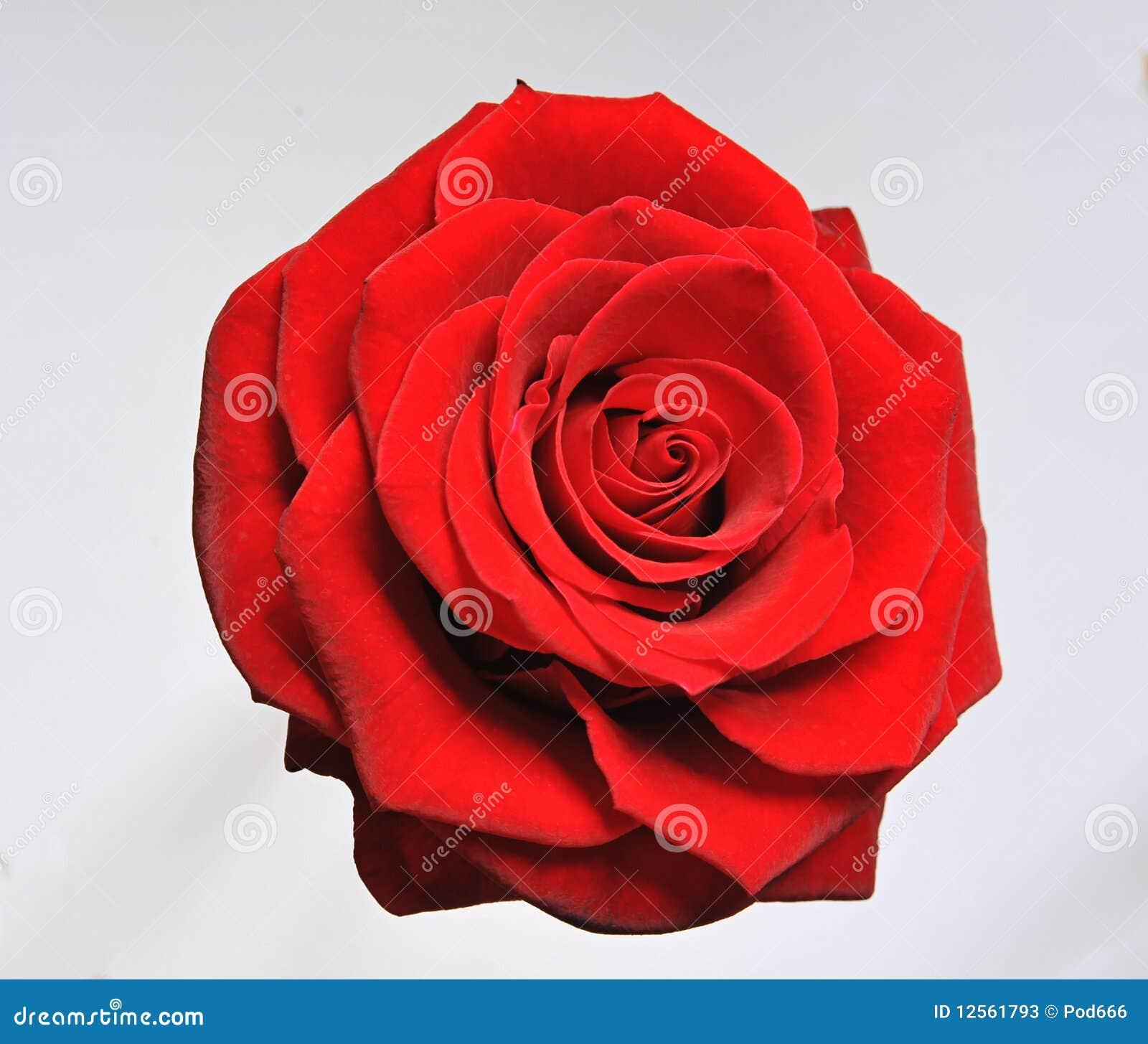 Rosen-einzelne rote Blüte