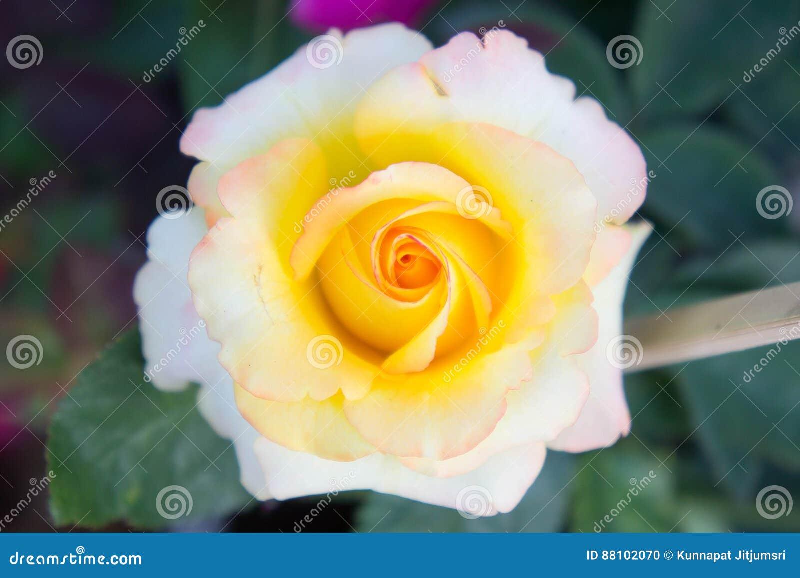 Rosen Färben Blumen Im Garten, Gelbe Schöne Blumen Gelb Stockfoto ...