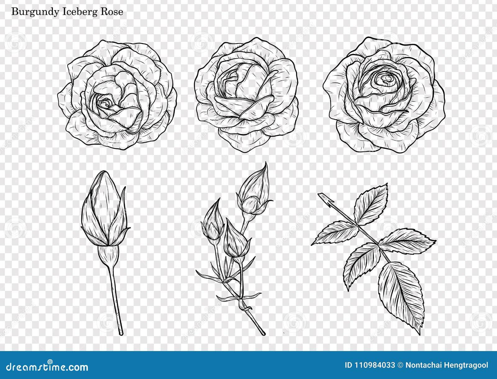 Rosen Vektor Eingestellt Eigenhändig Zeichnen Vektor Abbildung