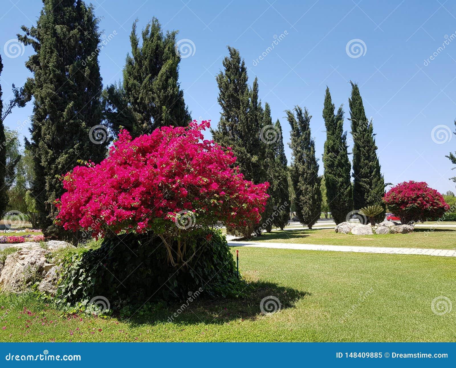 Rosenholz, Stolz der Insel von Zypern, die Weichheit der Natur