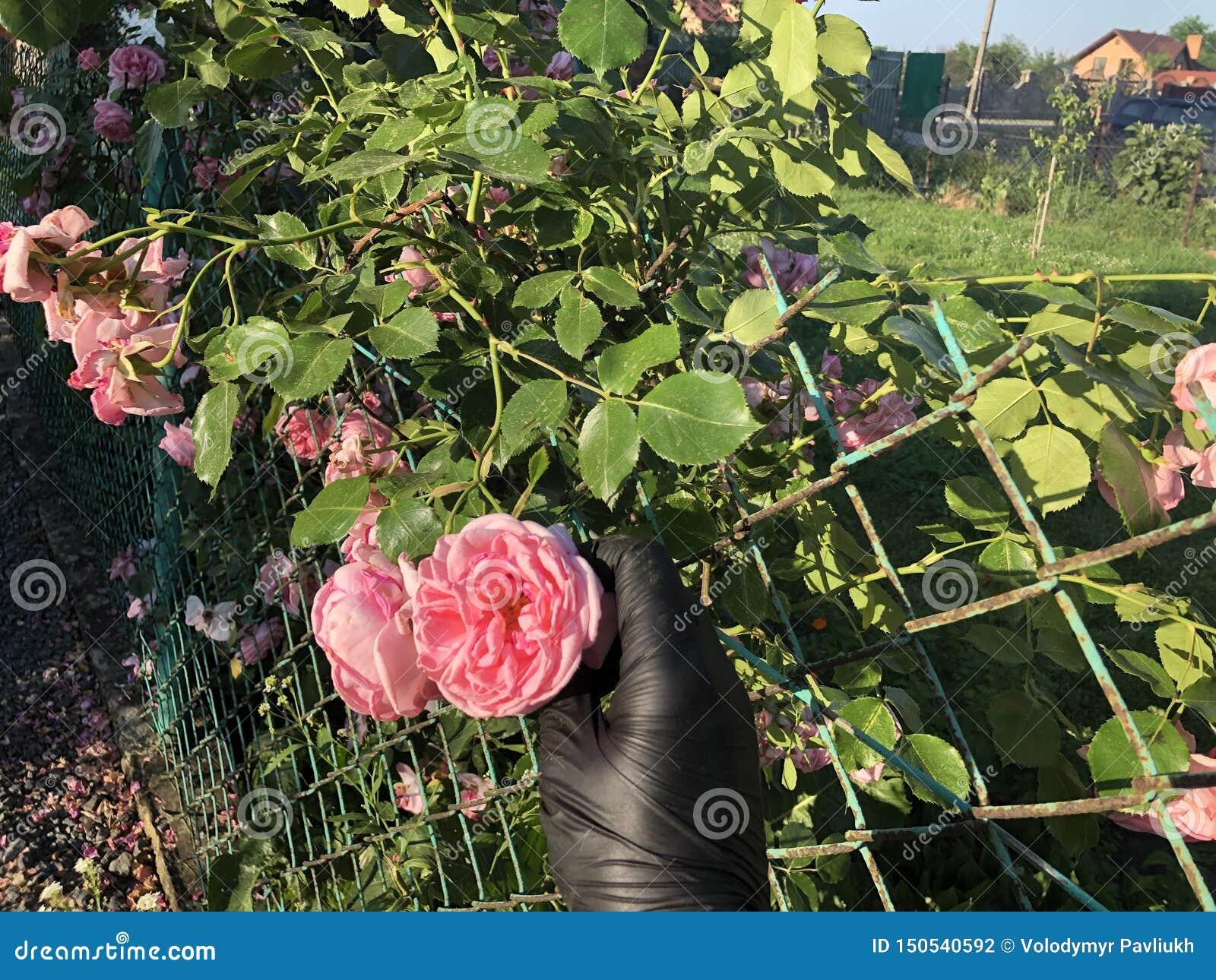 Roses roses avec une main dans les gants noirs