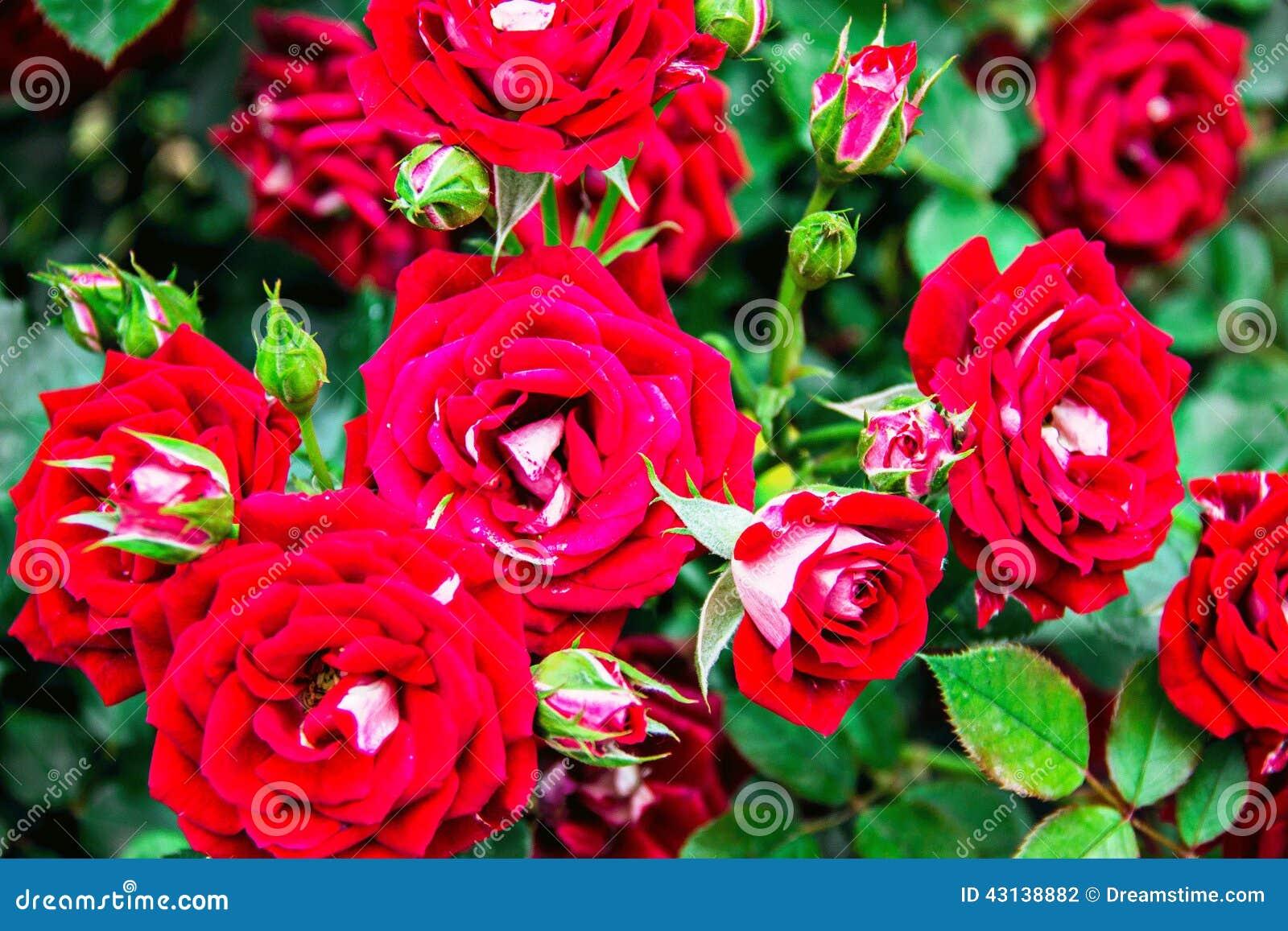 Roses Stock Photo Image 43138882