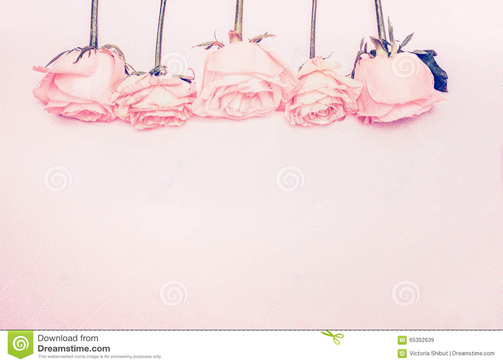 pastel roses background purple roses background royalty free stock