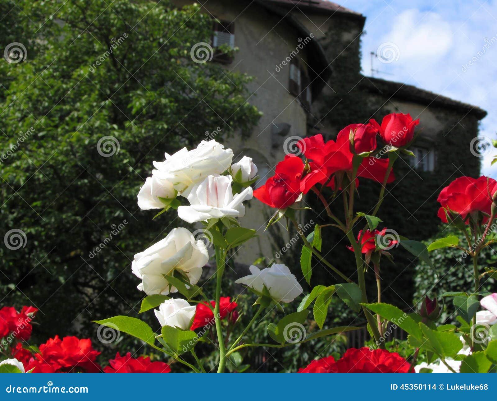 Roses colorées dans le jardin du château