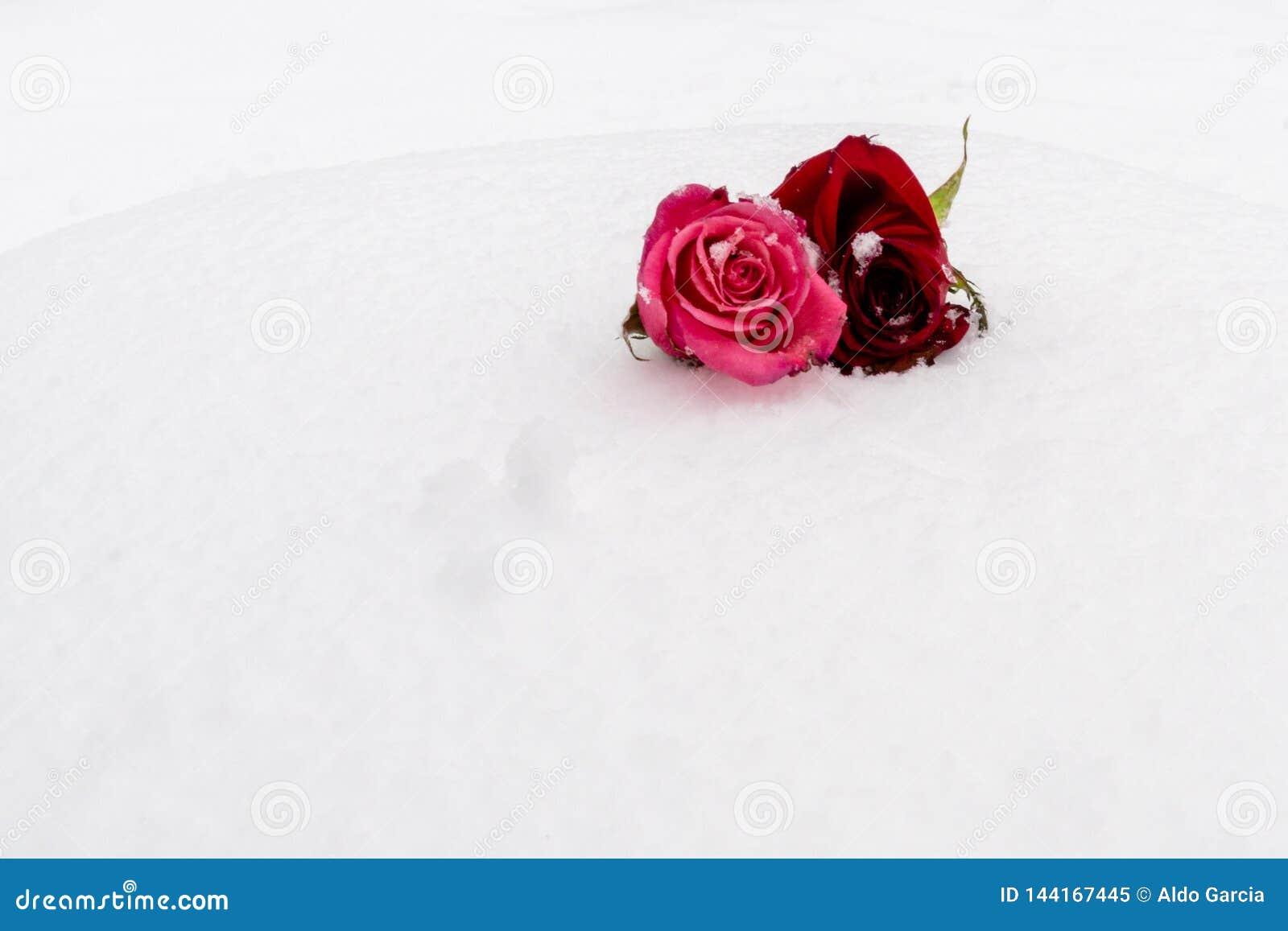 Roses couvertes par la neige