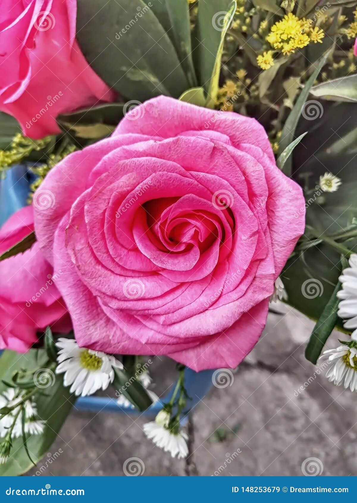 Roses d équateur