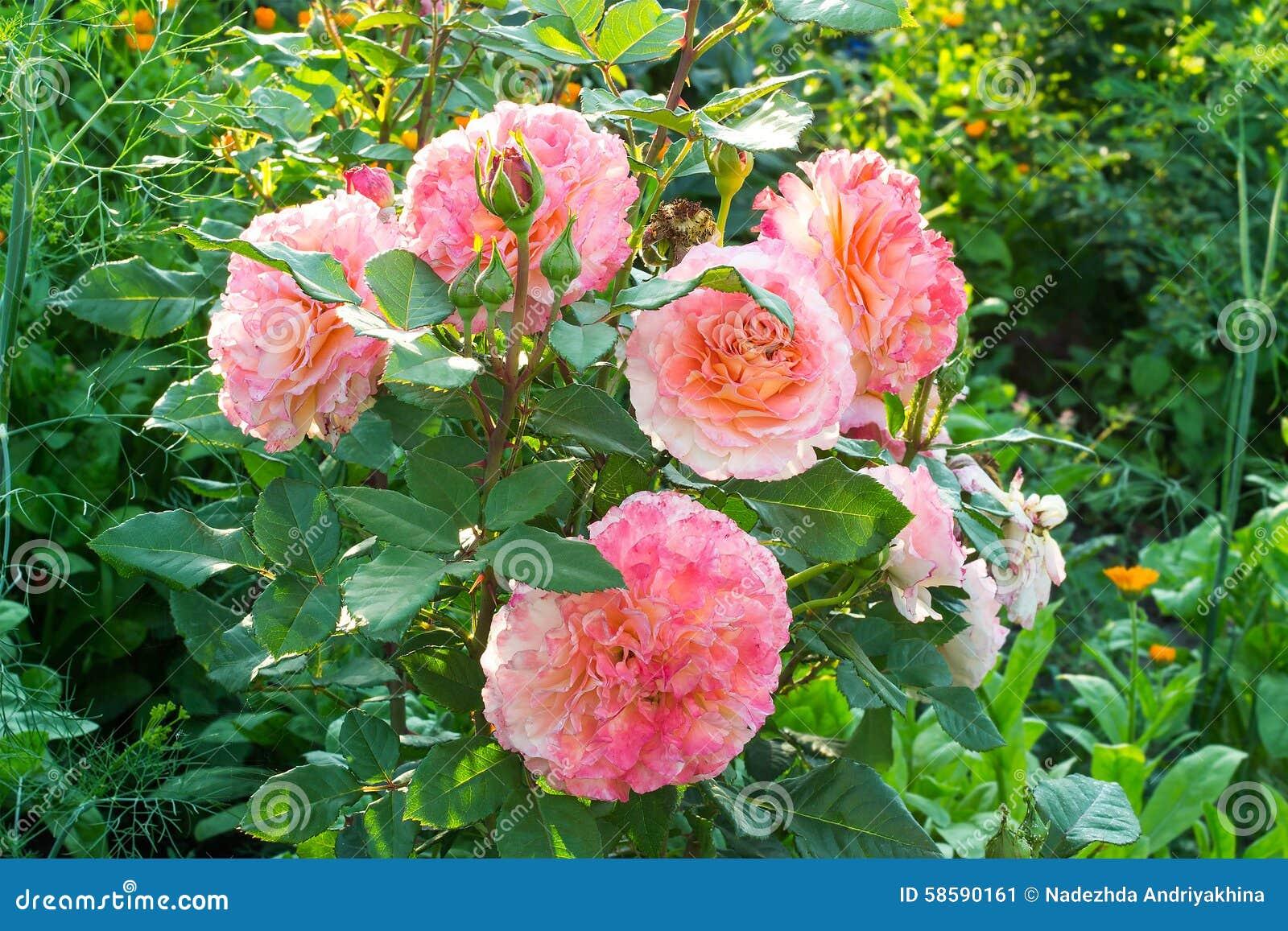 roses d 39 arbuste avec les fleurs roses luxuriantes photo stock image 58590161. Black Bedroom Furniture Sets. Home Design Ideas