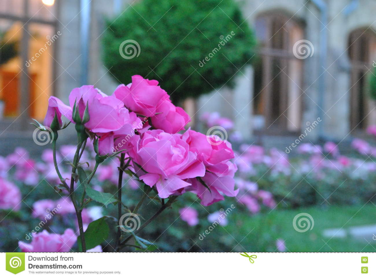 Roses d 39 arbuste sur un parterre photo stock image 80935230 for Parterre de roses photos