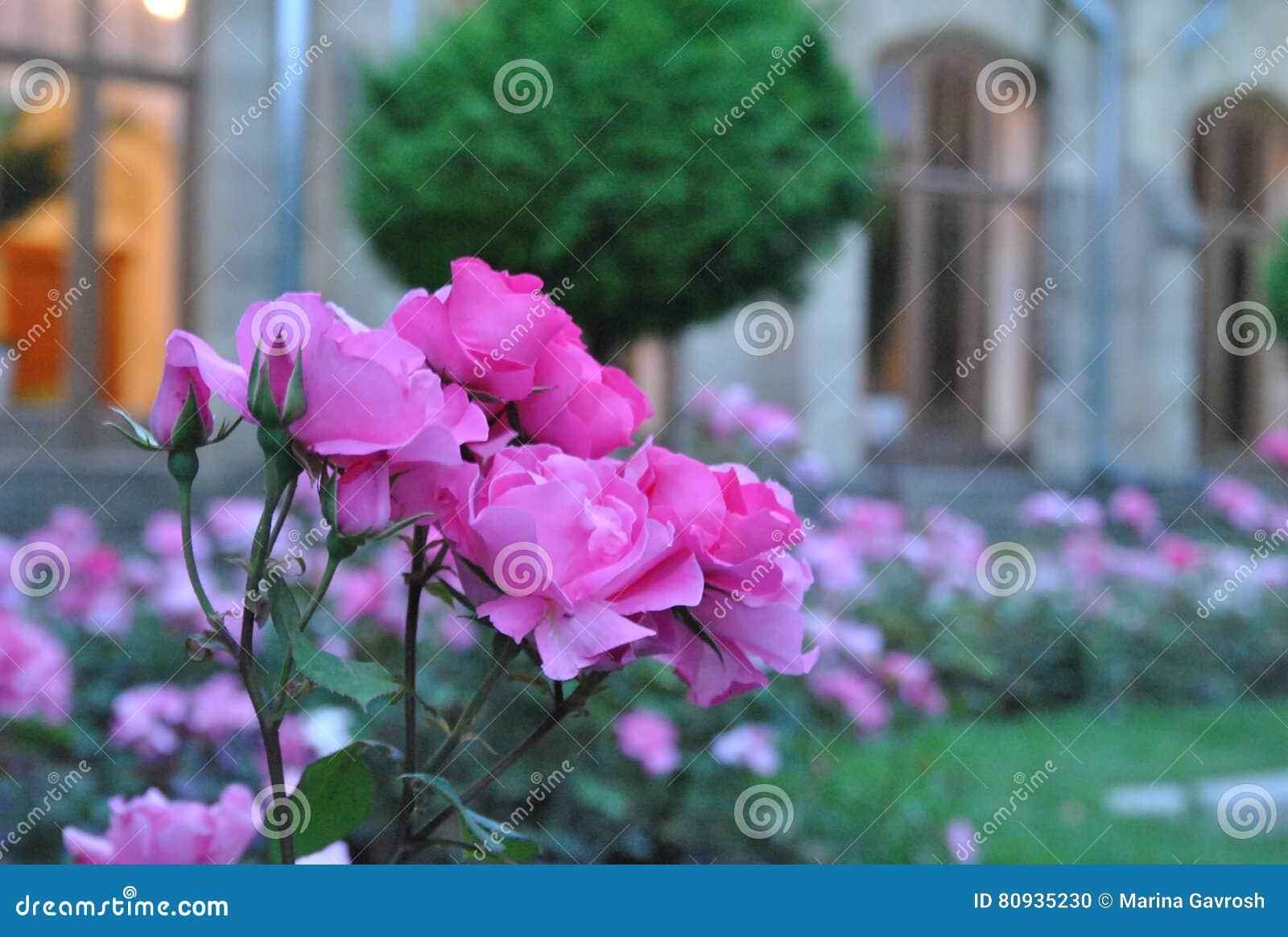 Roses d 39 arbuste sur un parterre photo stock image 80935230 for Parterre de roses photos