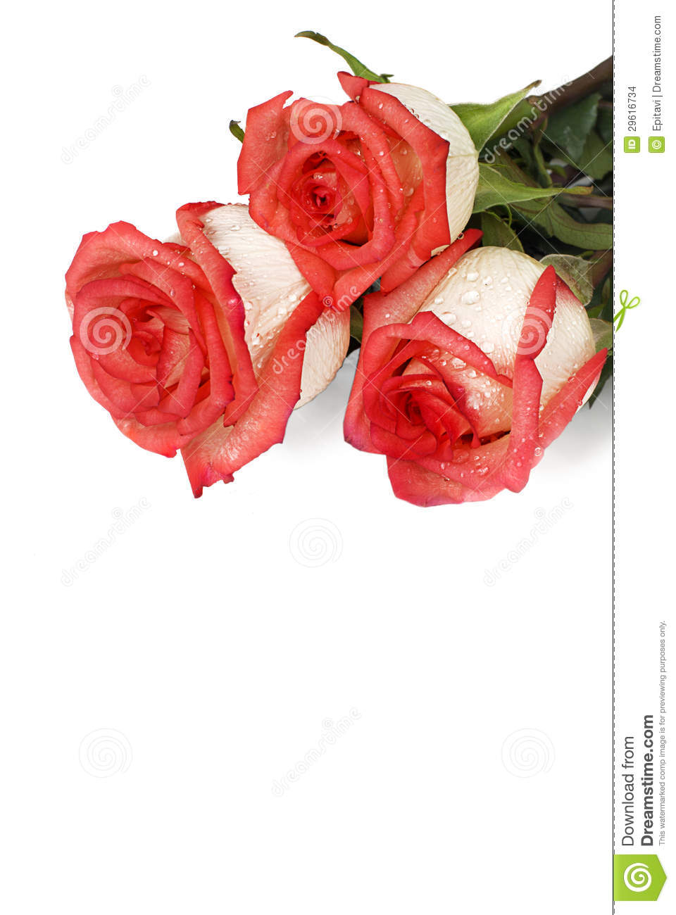 Roses with dew drops