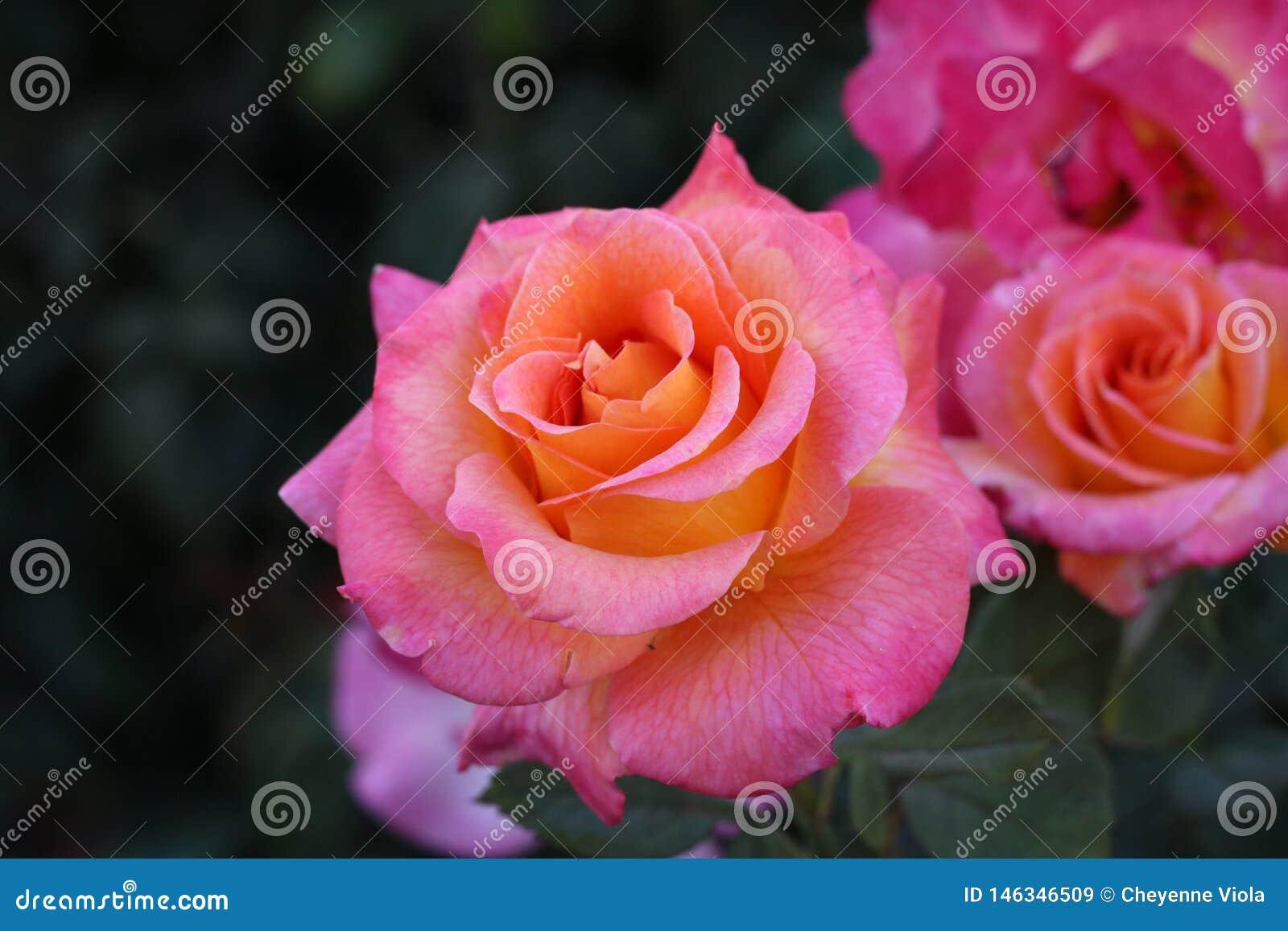 Roses roses et oranges