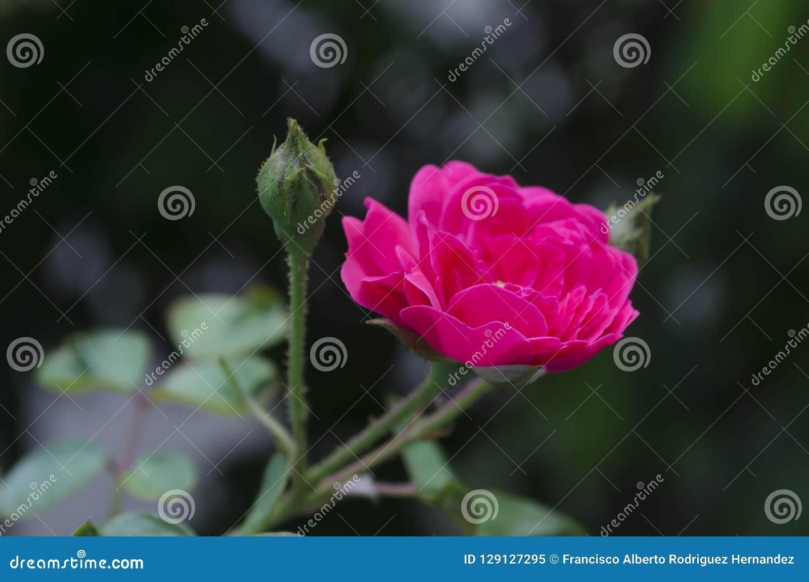 Roses et pousse de millionnaire s élevant et fleurissant à garde