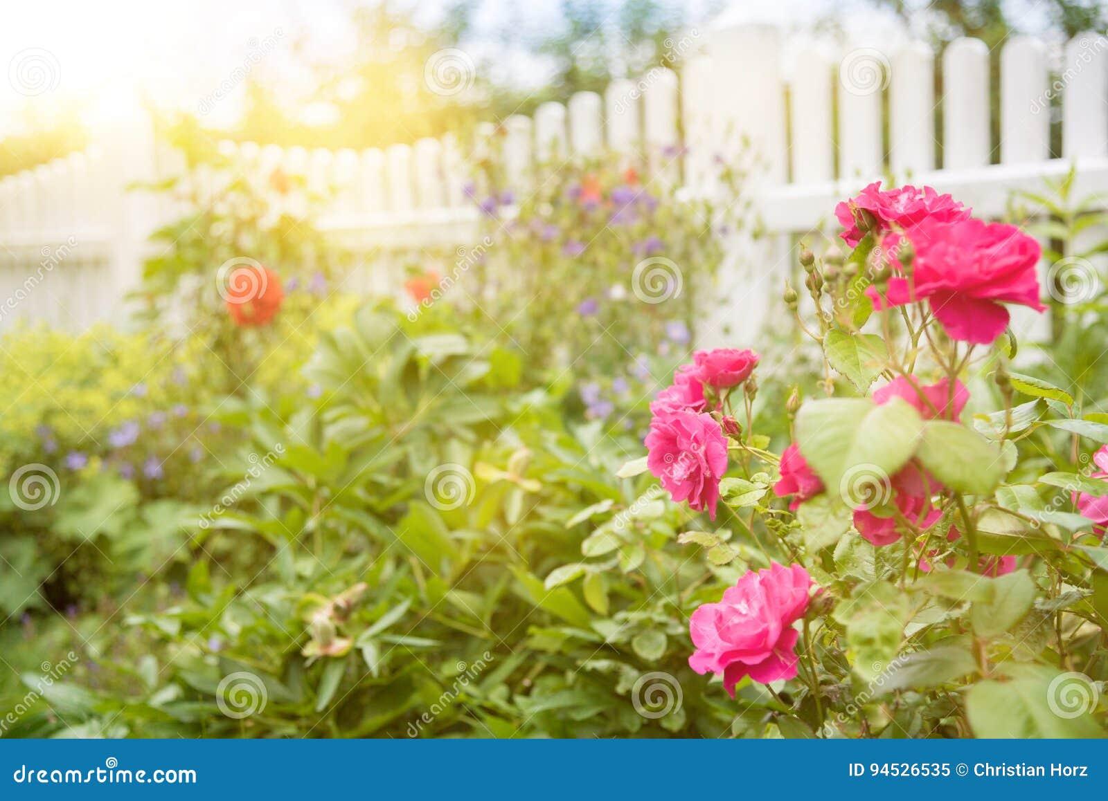 Roses Et Usines Dans Le Jardin Avec La Barrière En Bois Blanche à L ...