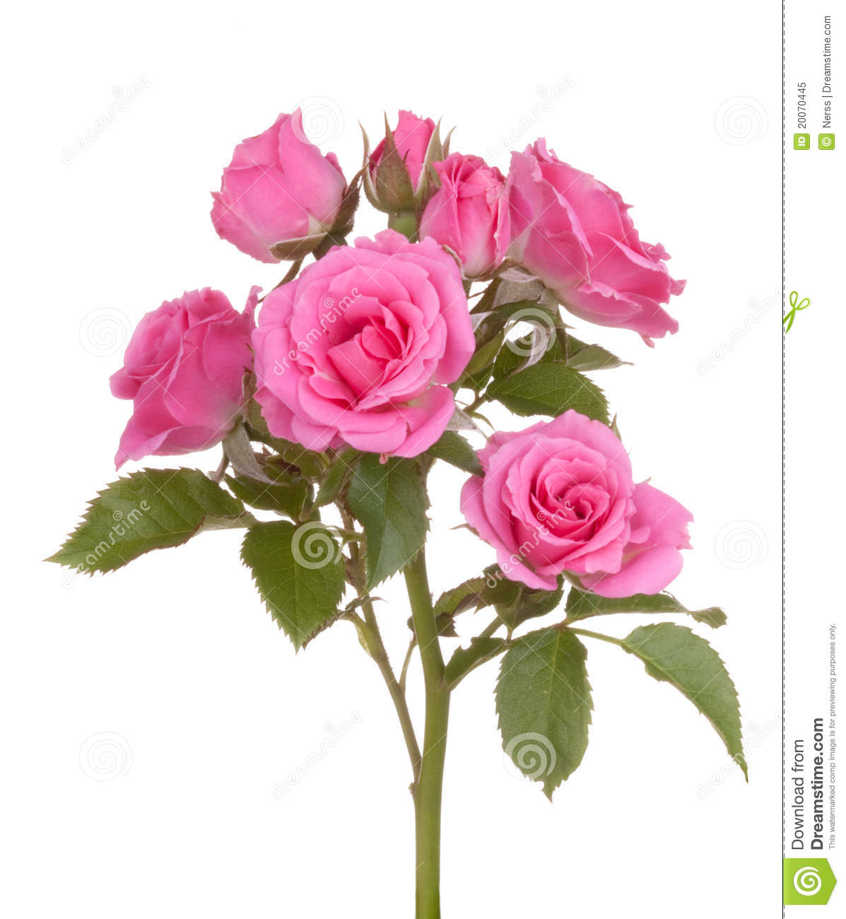 Roses Flowers Pink Rose Flower Stock Image Image Of Lively