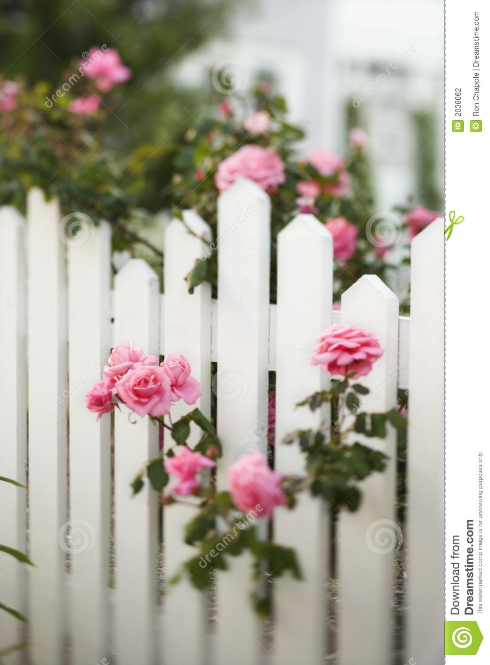 Roses growing over picket fence.