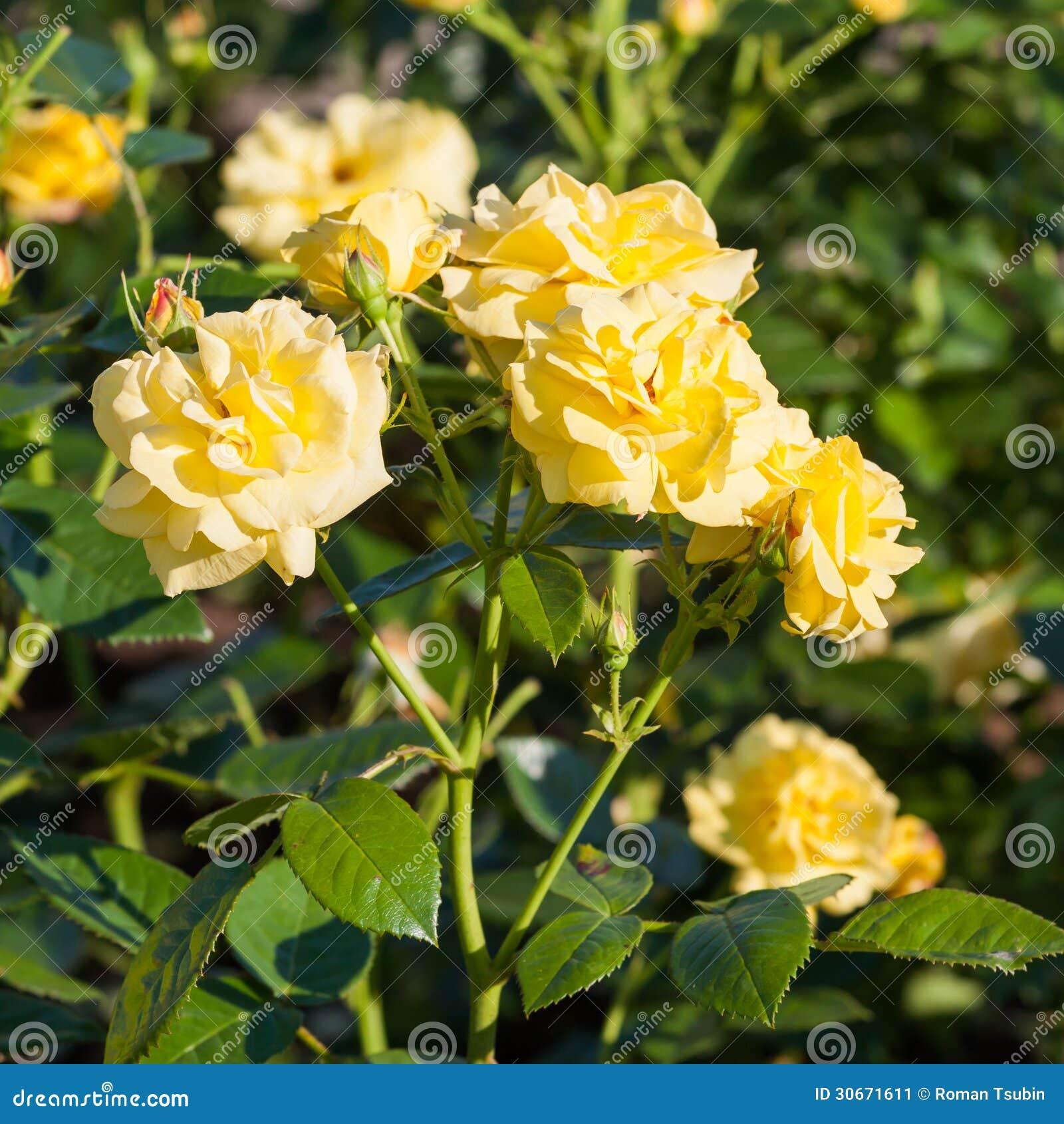 Roses jaunes dans le jardin image stock image 30671611 for Jardin roses