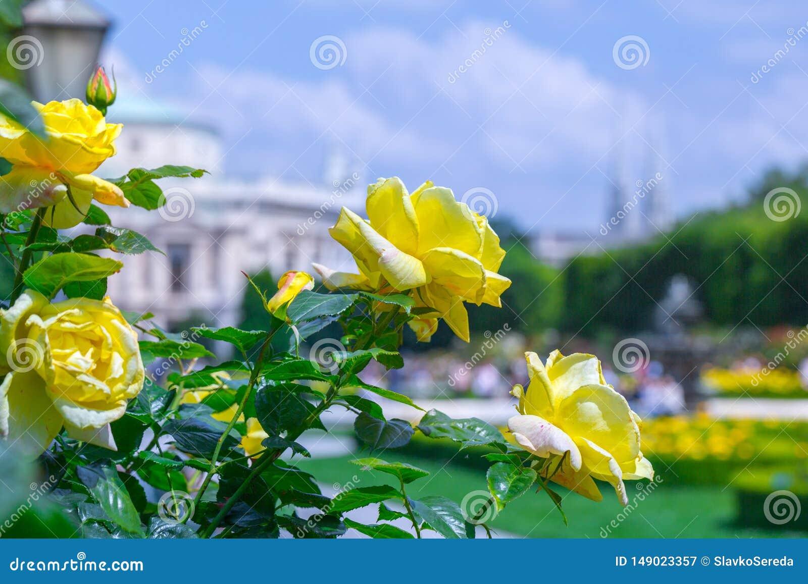 Roses jaunes de floraison luxuriantes dans la roseraie Volksgarten( ; people' ; s park) ; ? Vienne, l Autriche