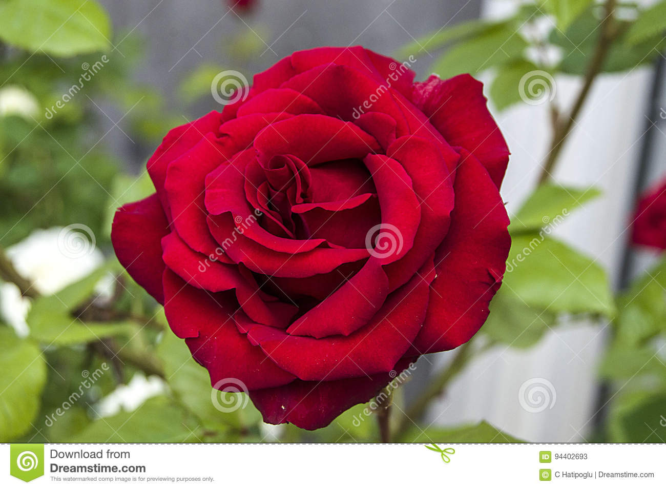 Love Garden Roses: Roses, Love Symbol Roses, Red Roses For Lovers Day