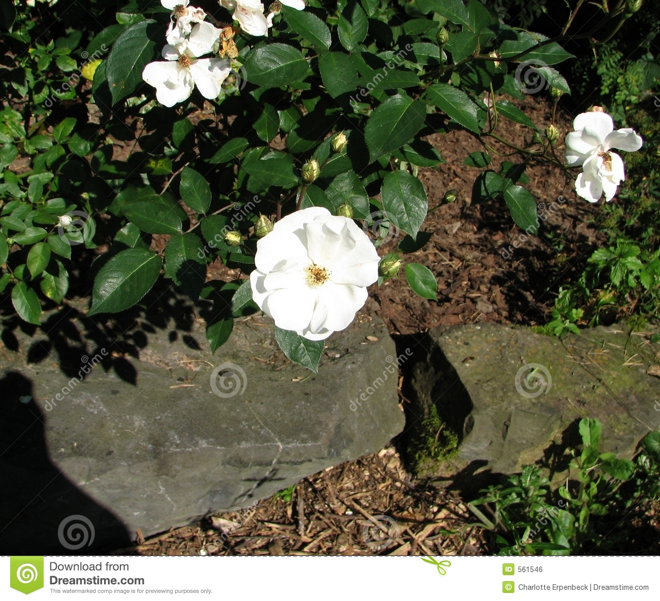 Mulching Roses Bushes: Roses On Mulch Royalty Free Stock Image