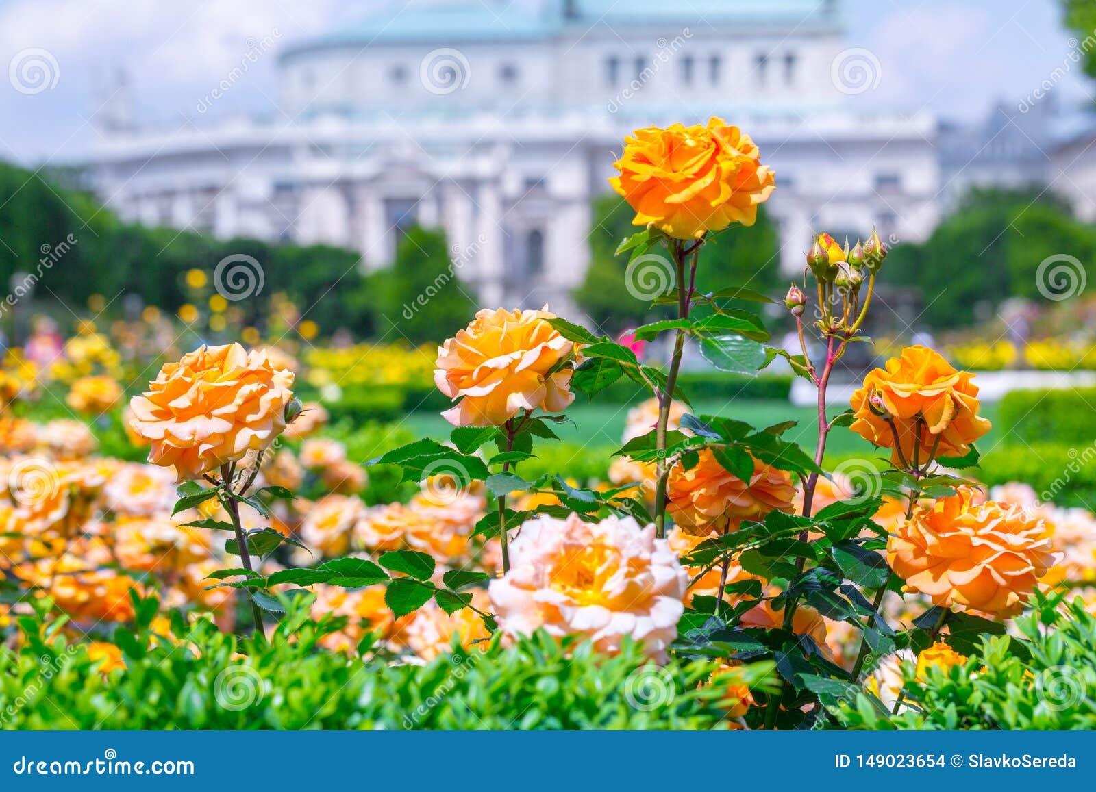 Roses oranges de floraison luxuriantes dans la roseraie Volksgarten( ; people' ; s park) ; ? Vienne, l Autriche