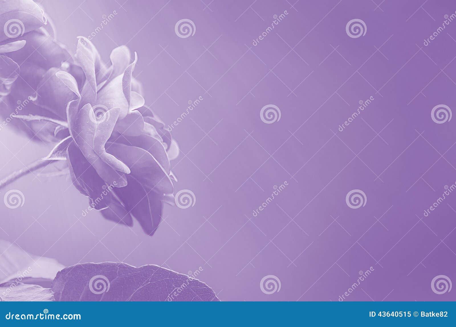 Roses pourpres sur l abrégé sur brouillé fond