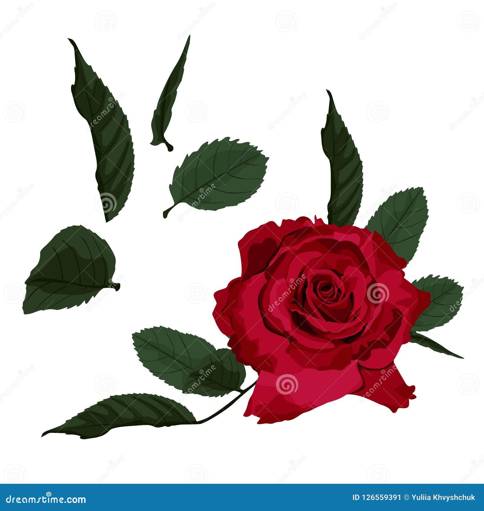 Roses rouges d isolement sur le fond blanc Illustration de vecteur Peut être employé comme carte d invitation pour épouser, anniv
