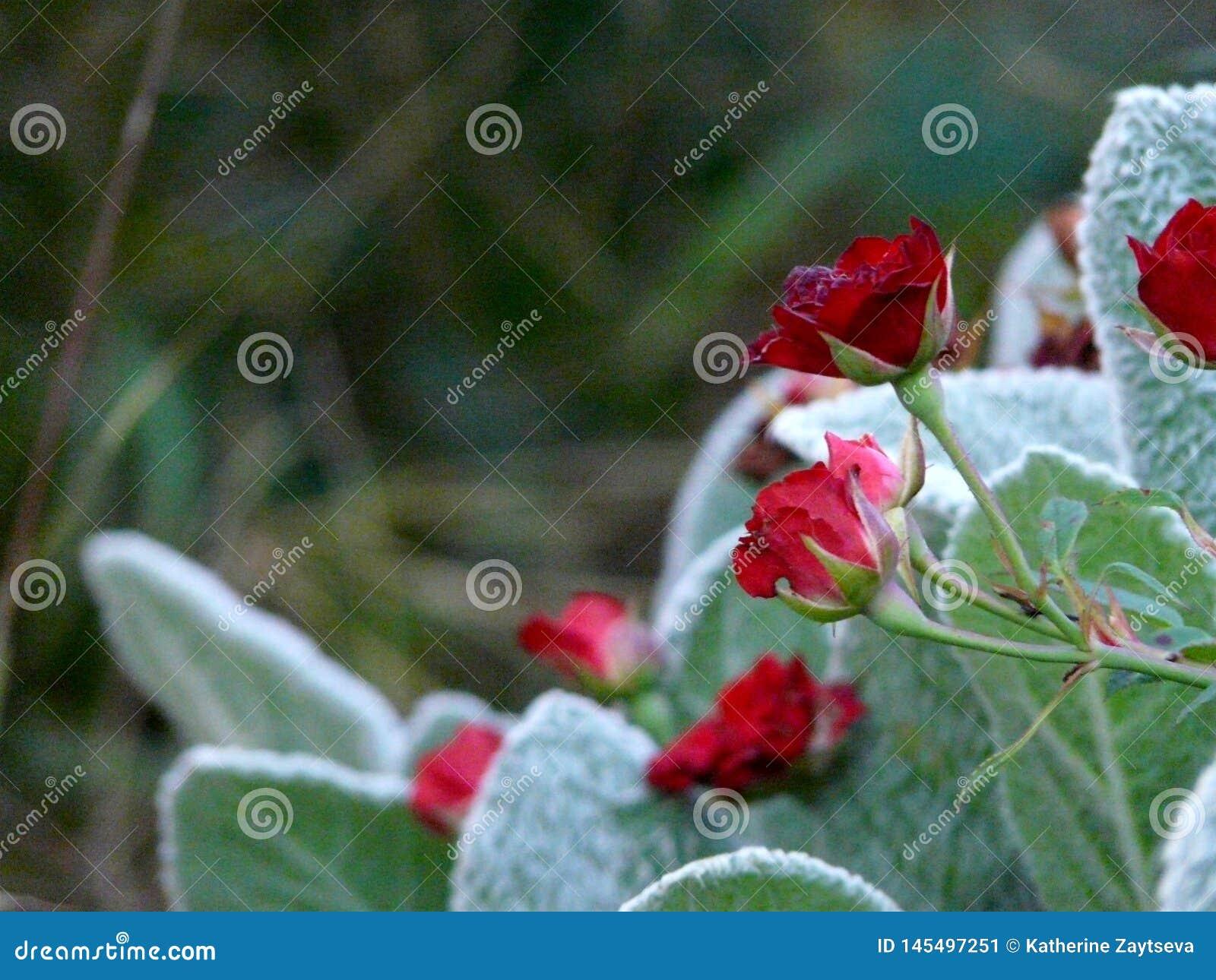 Roses rouges dans nos jardins