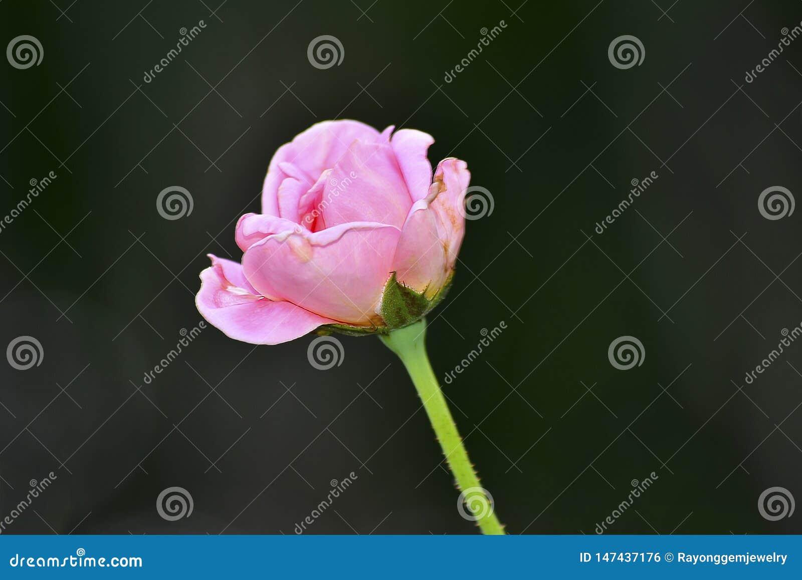 Roses roses sur une régénération foncée mais belle de jour