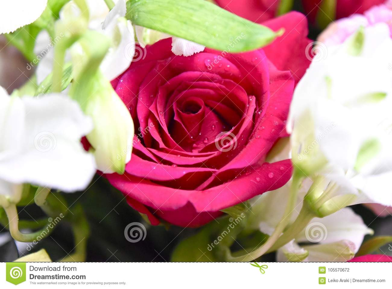 Flowers Two Colors Red And White Roses Stock Photo - Image of flower ...